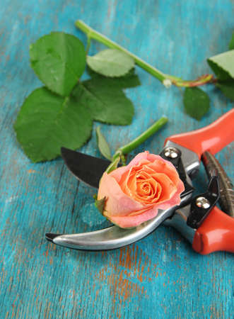 severed: Garden secateurs and rose on wooden table close-up