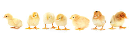 baby chick: Yellow little chickens isolated on  white