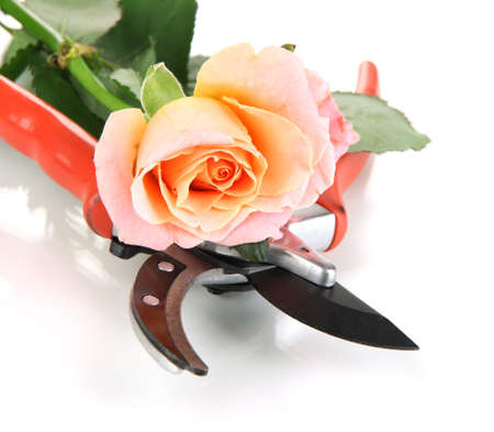 severed: Garden secateurs and rose isolated on white Stock Photo