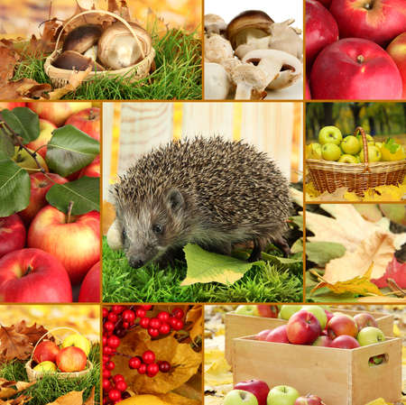 Autumn collage of apples, mushrooms and hedgehog photo