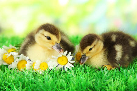 Cute ducklings on green grass, on bright background photo