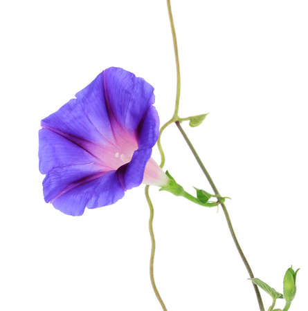 morning glory: Blue convolvulus (bindweed) flower, isolated on white Stock Photo