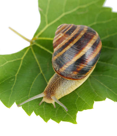 grape snail: Snail on leaf isolated on white