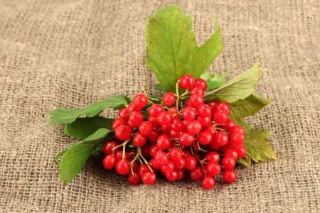 guelder rose berry: Ripe viburnum on sack background close-up