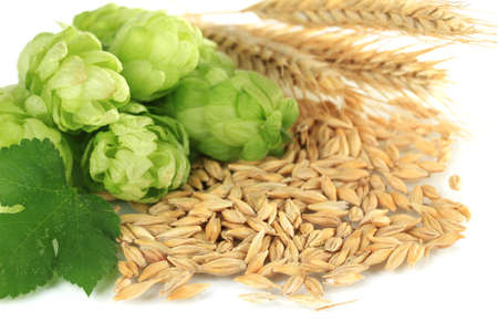 barley head: Fresh green hops and barley, isolated on white