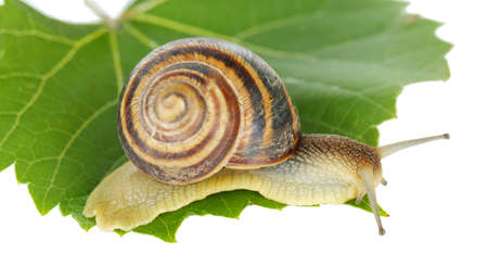 molluscs: Snail on leaf isolated on white