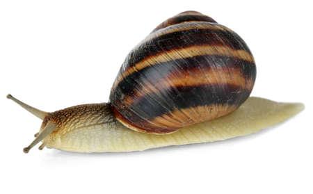 molluscs: Snail isolated on white Stock Photo