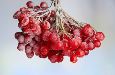 Red berries of viburnum with ice crystals, on light background photo