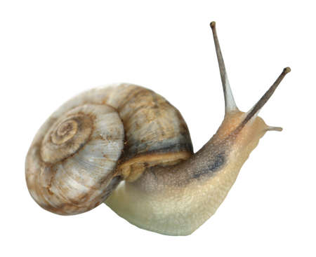 Snail isolated on white photo