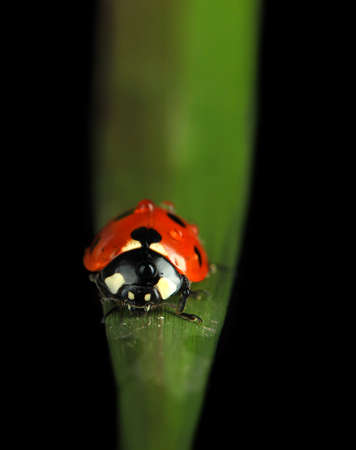 Beautiful ladybird on green grass, isolated on black photo