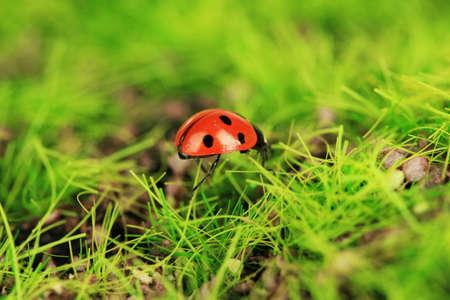 Beautiful ladybird on green moss, close up photo