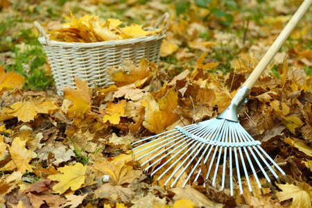 Cleaning of autumn leaves on a green lawn photo