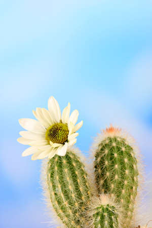 Cactus with flower, on blue sky background