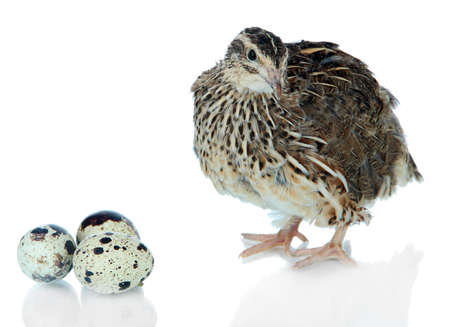 Young quail with eggs isolated on white Stok Fotoğraf
