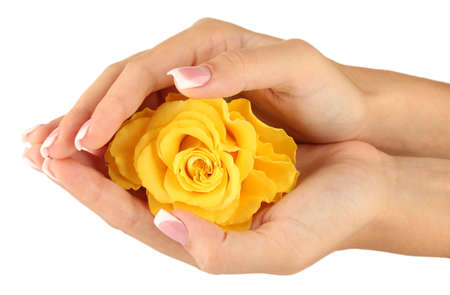 Yellow rose with hands on white background photo