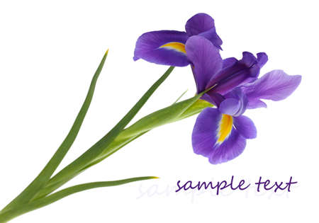 irises: Purple iris flower, isolated on white