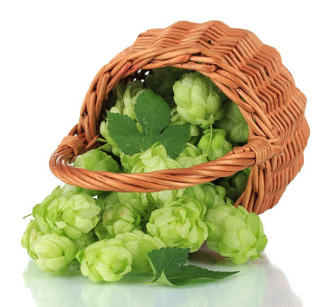 Fresh green hops in wicker basket, isolated on white photo