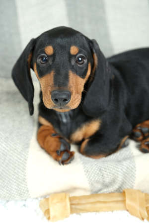 Little cute dachshund puppy photo