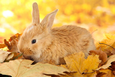Fluffy foxy rabbit on leaves in park