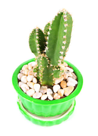 Cactus in flowerpot, isolated on white
