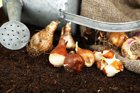 humus: Composition with watering can, sackcloth and flower bulbs on humus, on dark  Stock Photo