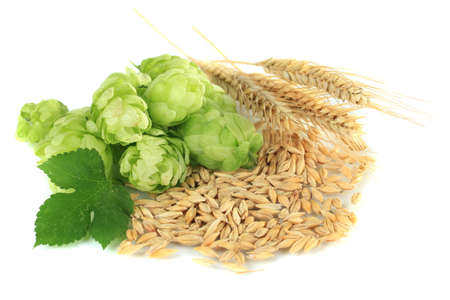 bitterness: Fresh green hops and barley, isolated on white