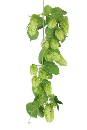 humulus: Fresh green hops, isolated on white Stock Photo