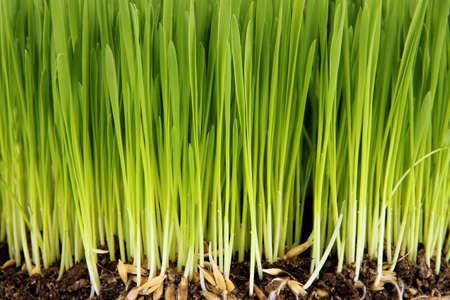 rural development: Green grass with fertile soil closeup