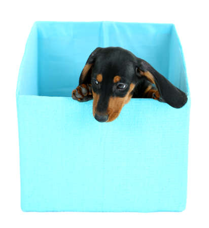 Cute dachshund puppy in box, isolated on white photo