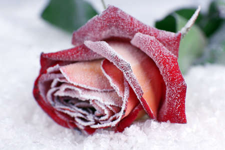 Rose covered with hoarfrost close up photo