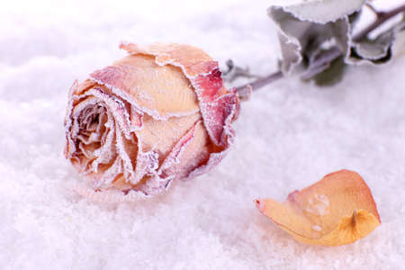 Dried rose covered with hoarfrost on snow close up photo