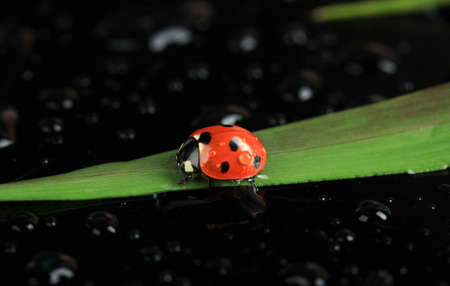 Beautiful ladybird on green grass, on black background photo