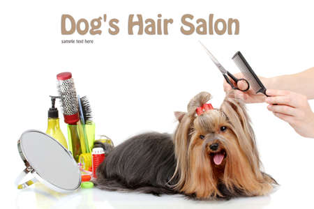 Grooming the yorkshire terrier isolated on white photo