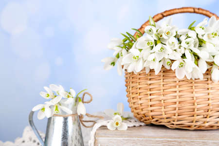 Beautiful snowdrops in wicker basket, on blue background photo