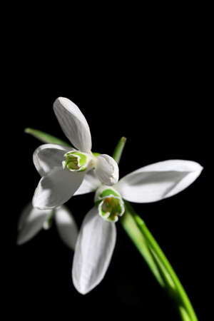Beautiful bouquet of snowdrops on black background photo