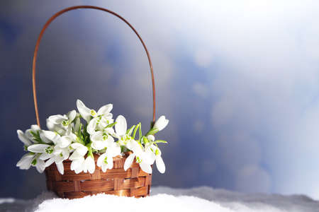 Beautiful bouquet of snowdrops in wicker basket on snow photo