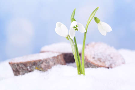 Beautiful snowdrops on snow, on nature winter background photo