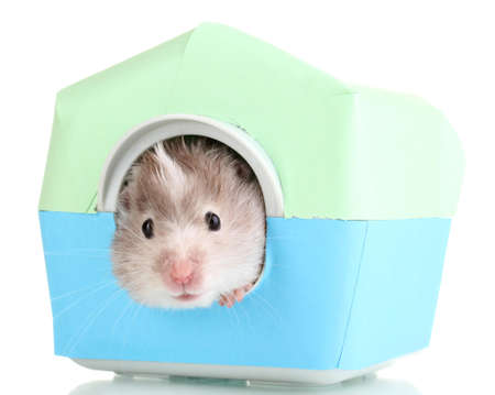 overeat: Cute hamster in house isolated white