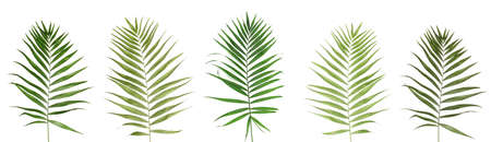 hamedoreya: Collage of beautiful palm leaves isolated on white Stock Photo