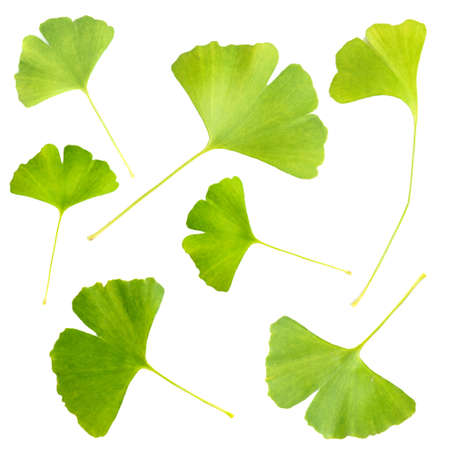 Collage of ginkgo biloba leaves isolated on white Stock Photo