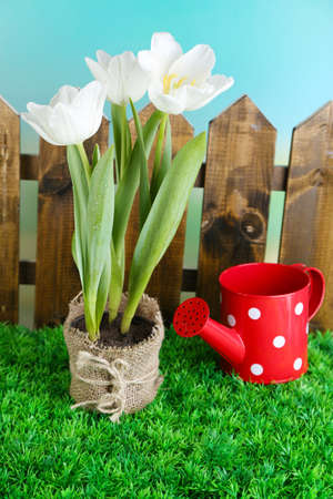Beautiful tulips in pot  on green grass, on bright background photo