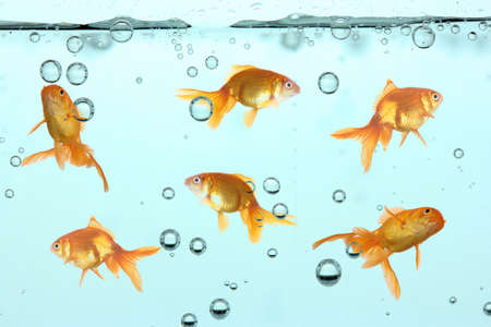 Goldfish in clear water photo