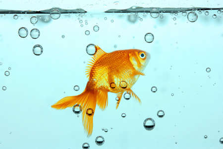 goldenfish: Goldfish in clear water Stock Photo