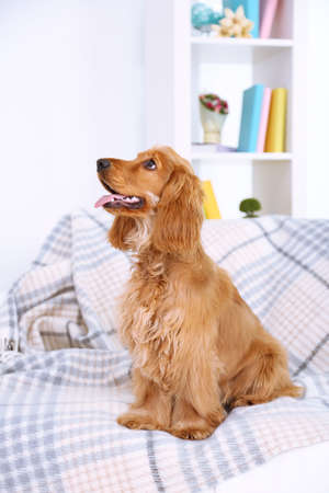 Beautiful cocker spaniel on couch in room photo