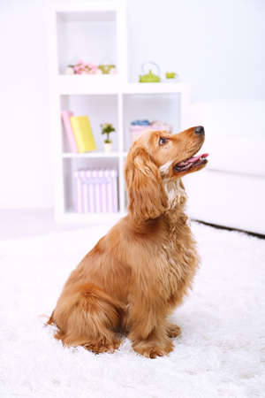 Beautiful cocker spaniel in room photo