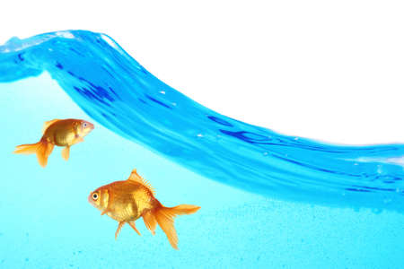 Goldfish in clear water isolated on white photo