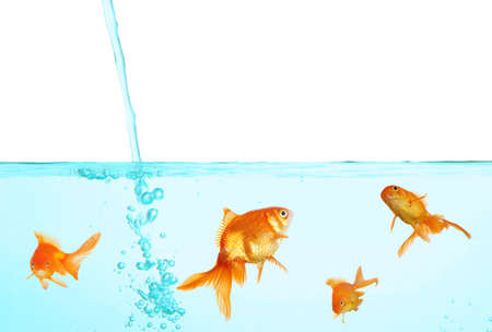 goldenfish: Goldfish in clear water isolated on white Stock Photo
