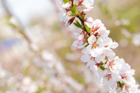 Beautiful fruit blossom, outdoors photo