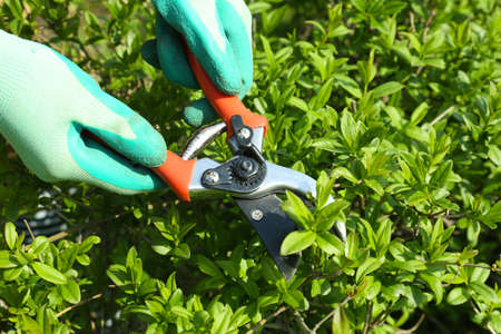 clippers: Pruning bushes in garden Stock Photo
