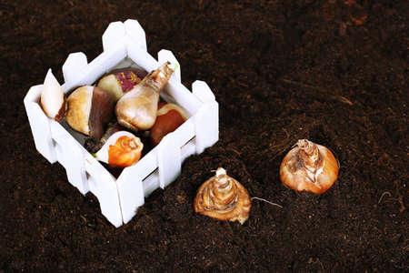 humus: Flower bulbs on humus background Stock Photo